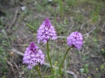 Pyramid Orchid (Anacamptis pyramidalis) -