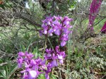 Wild orchids of Andalucia