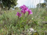 Pink Butterfly Orchid - Orchis papilionacea