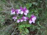 Pink Butterfly orchid with very pale petals Wild Orchids of Andalucia