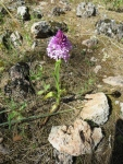 Wild Orchids of Andalucia Pyramid Orchid
