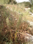 Wild Orchids of Andalucia - Lizard Orchid