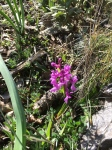 Wild orchids of Andalucia Orchis mascula